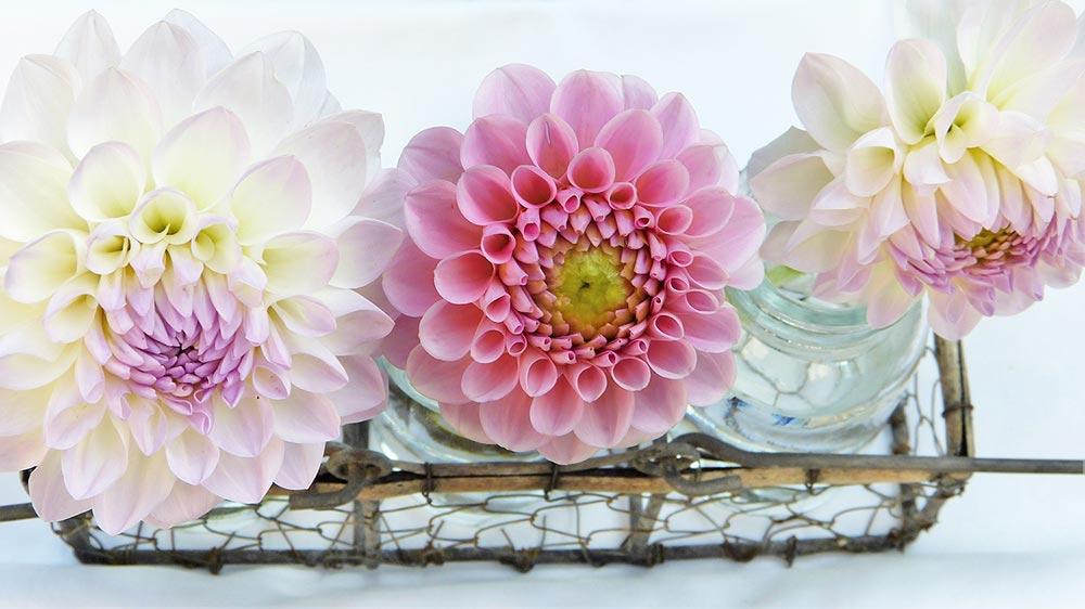 Single Pink & White Dahlias displayed in glass jars